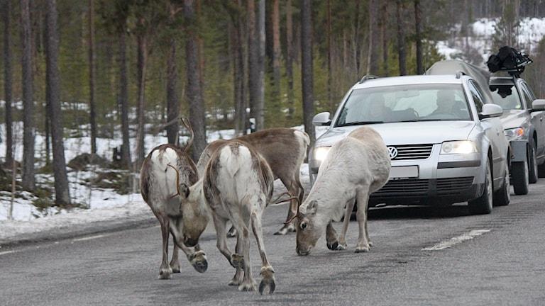 Renar på trafikerad väg