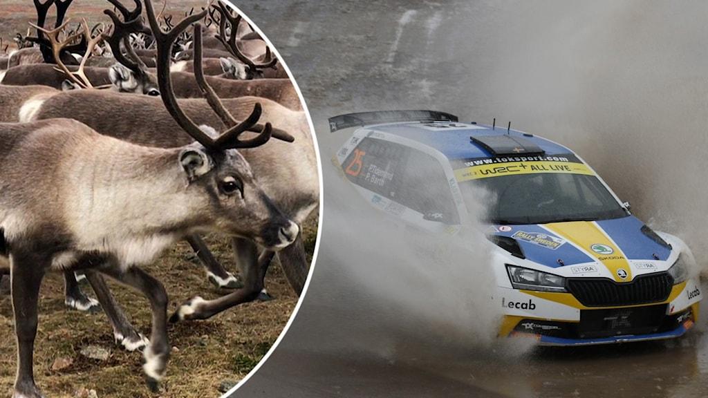 Två bilder är ihopsatta. Till vänster syns flera renar, till höger är en blå och gul rallybil.