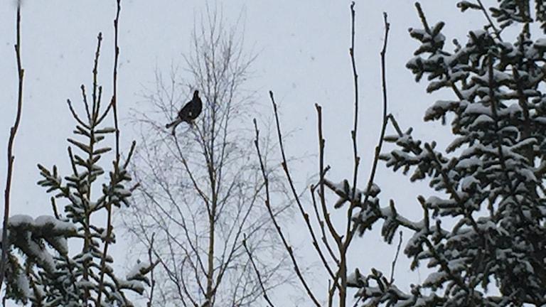 Orre i trädtopp