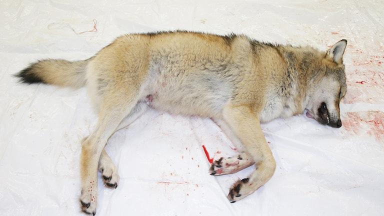 Bild på död varg.