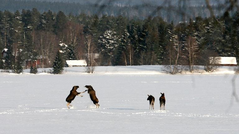 Älgar som stegrar sig på isen i Lit.