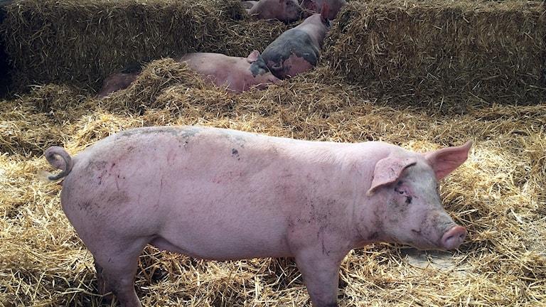 Ekologisk gris. 160812. Foto: Björn Nordquist/SR
