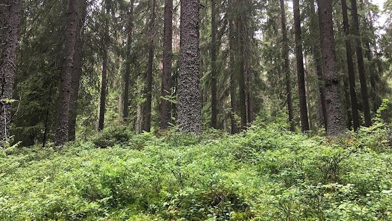 Blåbärsris och granstammar i en skog