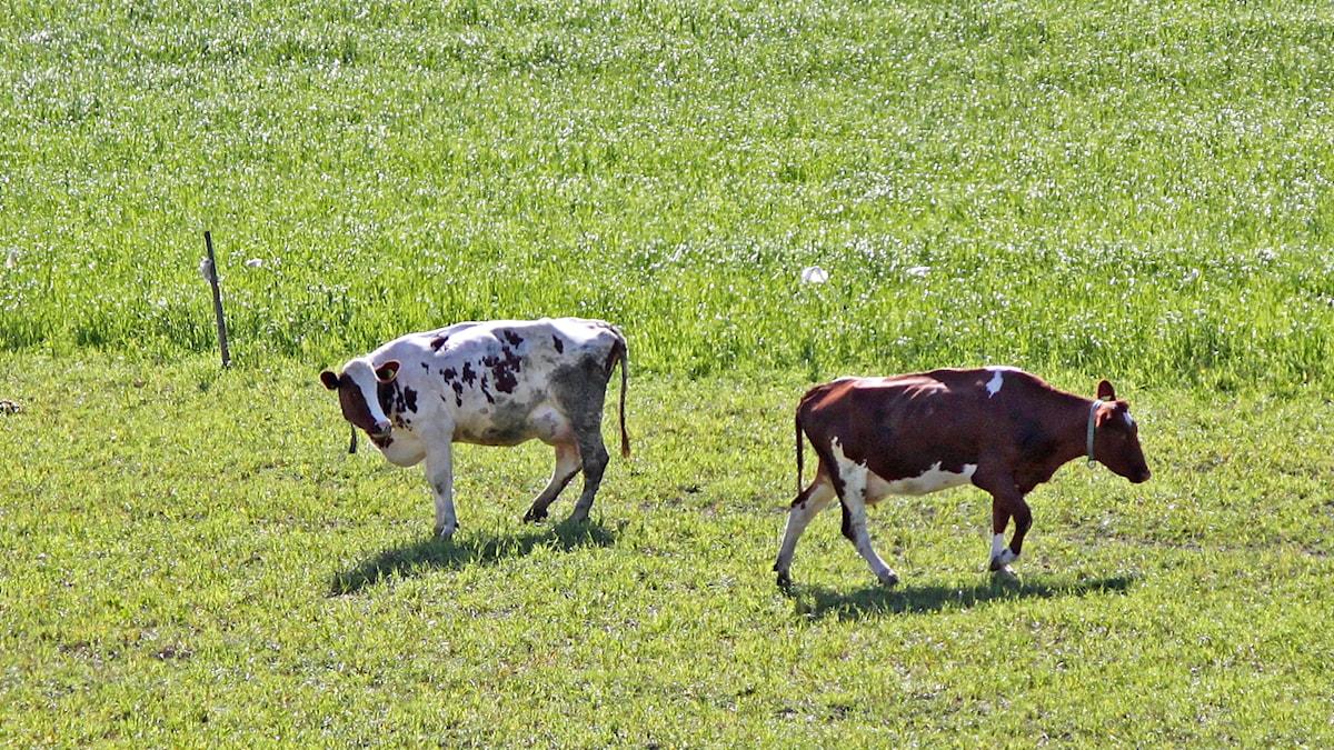 Kor i kohage