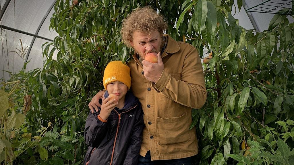 Pappa och son i växthus. Bägge äter stora persikor plockade från trädet bakom dem.