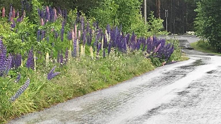 Bild på växtarten Lupiner i lila.