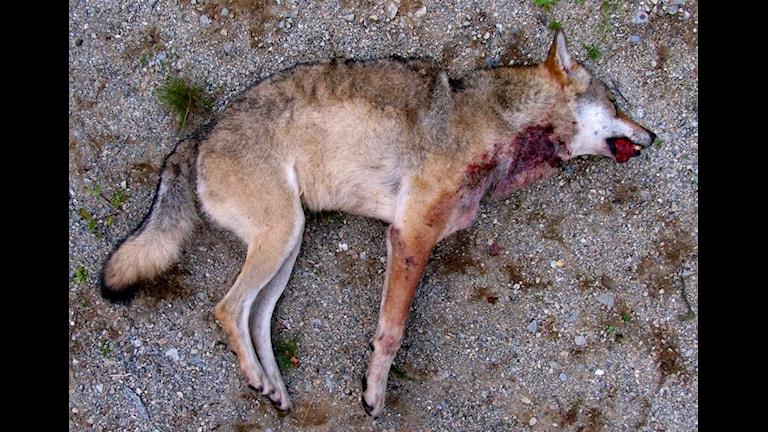 En skjuten varg.Foto: Polismyndigheten i Västernorrlands län