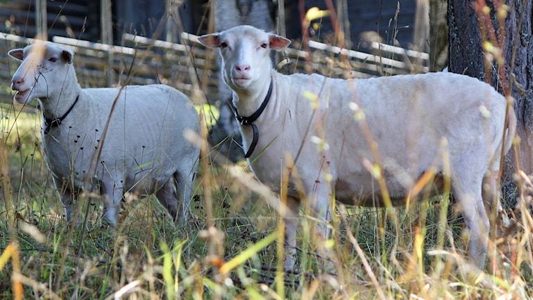 Två får i hage
