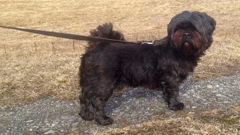 En svart liten hund i koppel