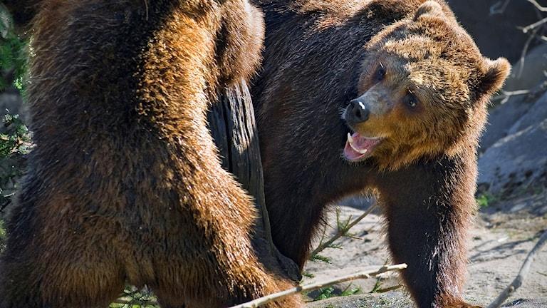 Björnjakten är avlyst.