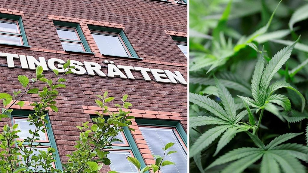 En exteriör-bild av en tegelbyggnad och en närbild på en cannabisplanta.