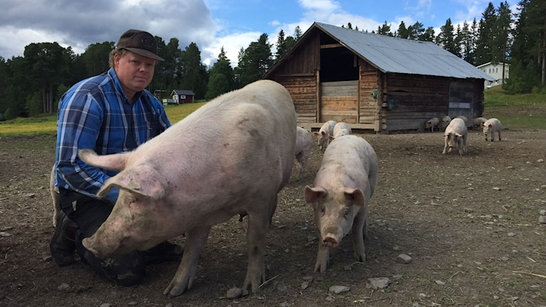 Man bredvid ett antal grisar.