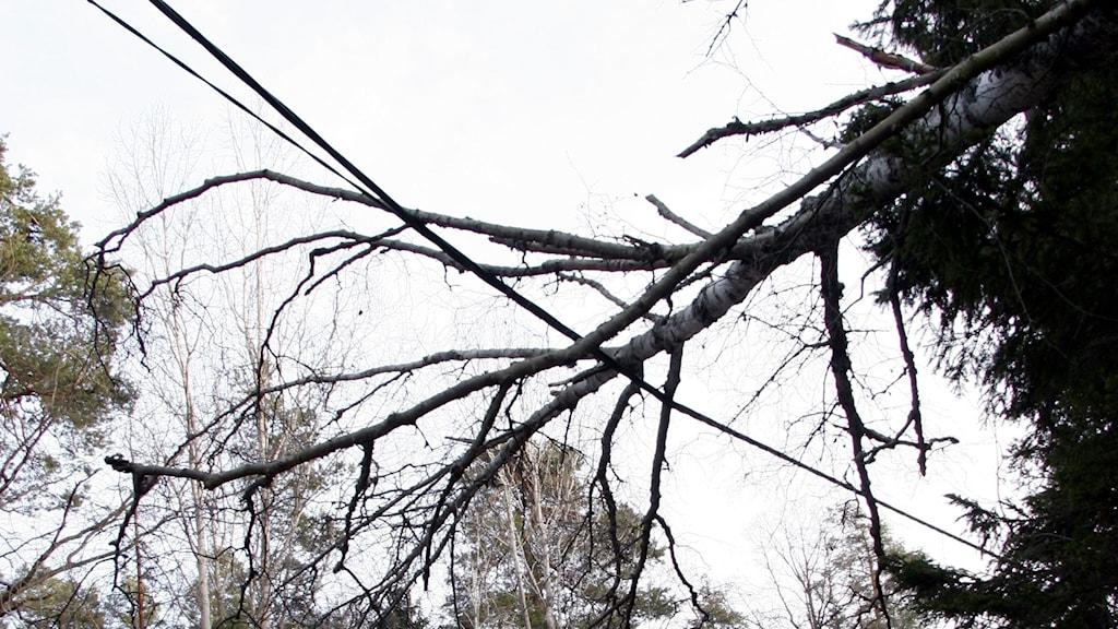 Flera träd har fallit över elledningar och orsakat strömavbrott i Ragunda, Bräcke och Strömsund.