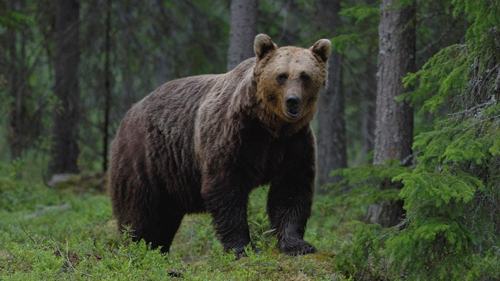 Brunbjörn står i en granskog