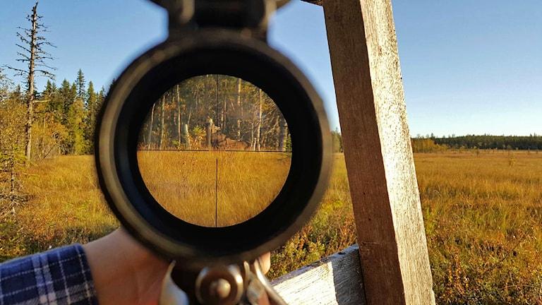 Älg ses slicka på saltsten i myrlandskap genom ett kikarsikte på ett gevär
