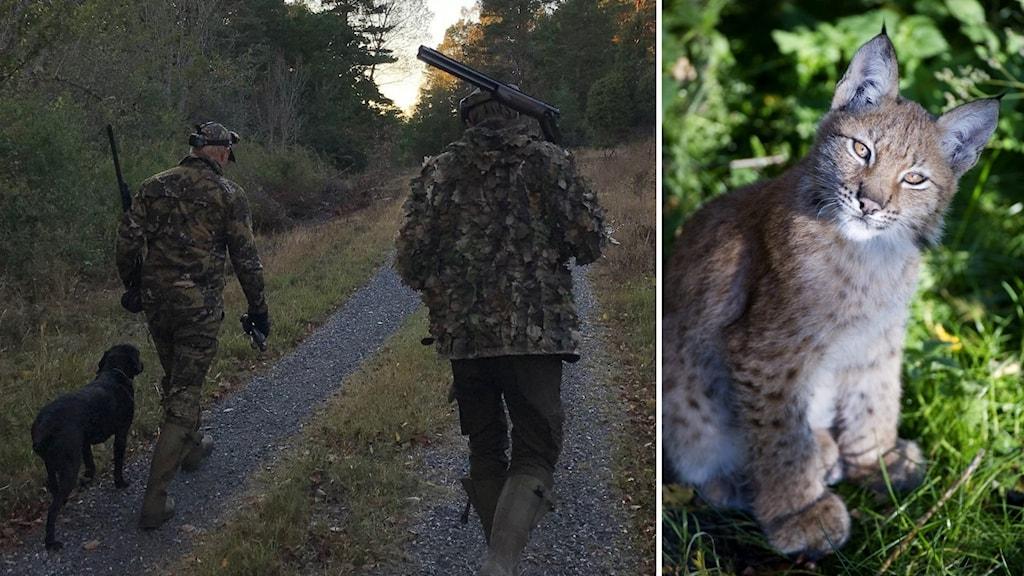 Till vänster två män med gevär och en hund under jakt, till höger en gullig lodjursunge.