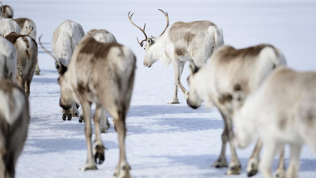 Renar går över snötäckt is