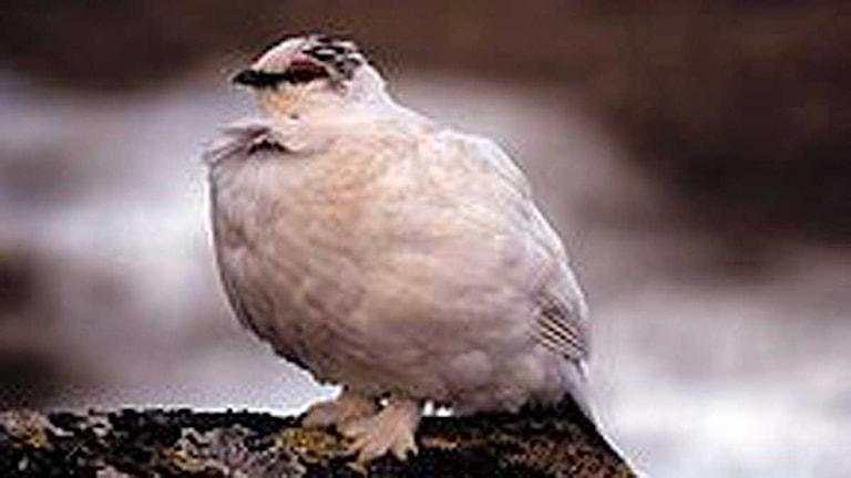 Fjällripa, Lagopus muta. Foto: Wikipedia