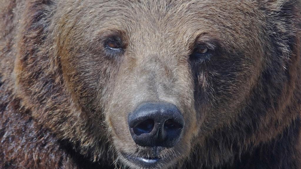 En närbild på ansiktet till en stor brunbjörn.