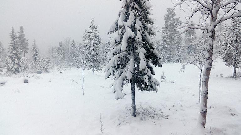 Snötäckt skogsmiljö