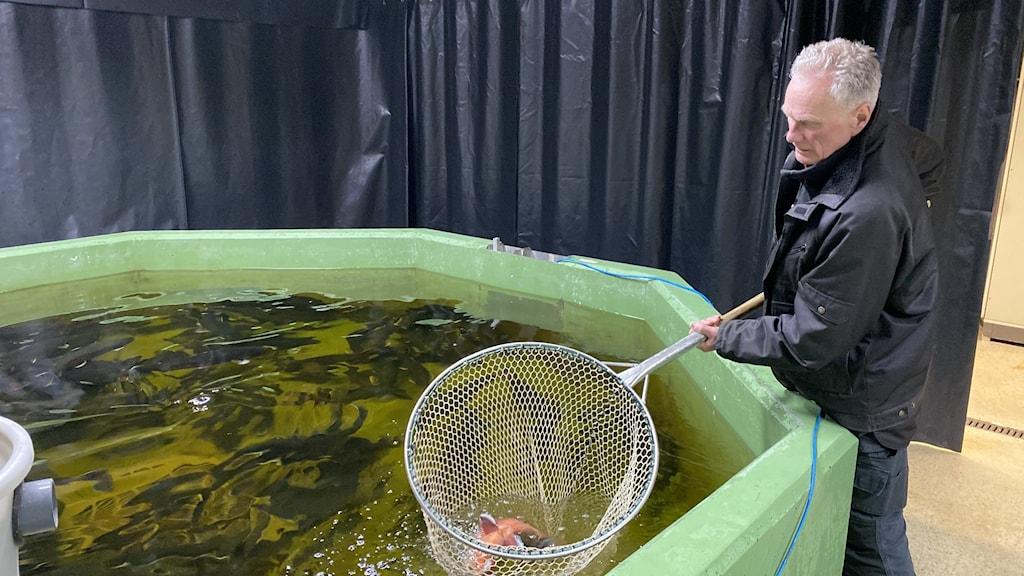 En man står med en stor håv ner i en tunna med fisk.