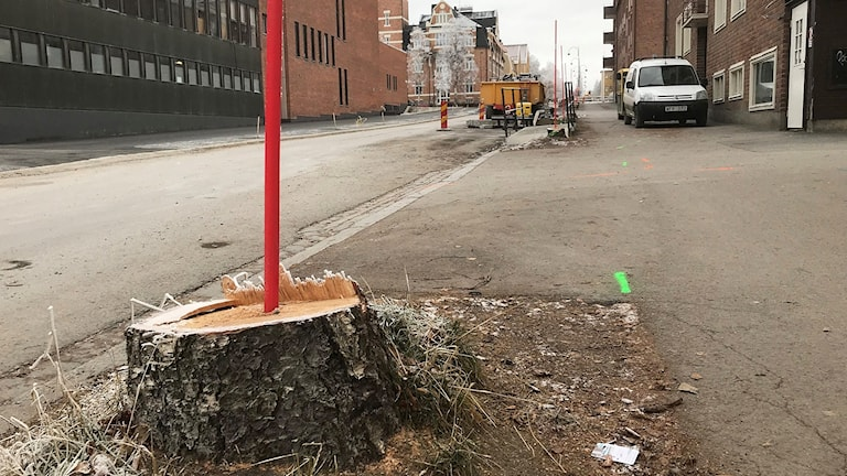 Röd plastkäpp sticker upp ur björkstubbe längs stadsgata