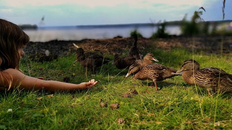 Flicka ligger på marken och sträcker fram handen till en familj änder.