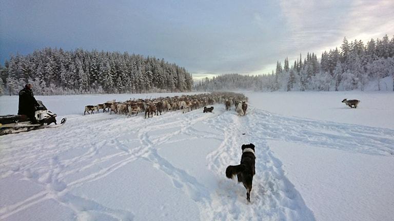 Renhjord från Jijnjevaerie (Hotagens) sameby på flytt, med skotrar och vallhundar, mot vinterbetet. Bilden tagen i trakterna av Laxsjö. 171213. Foto: Privat