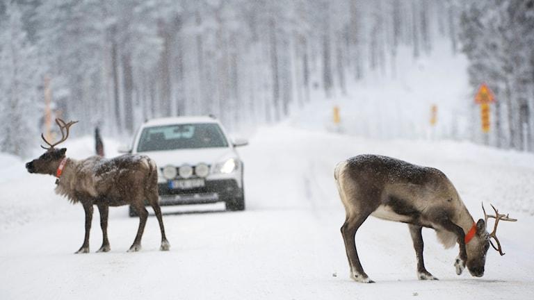 Två renar och en bil på snöig vinterväg