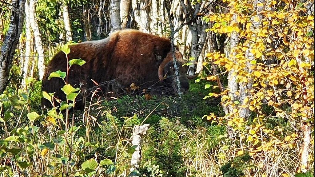 Myskoxe i fjällbjörkskog