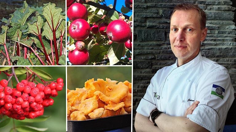 Kollage bilder av rabarber, röda äpplen, rönnbär och kantareller samt porträttbild manlig kock