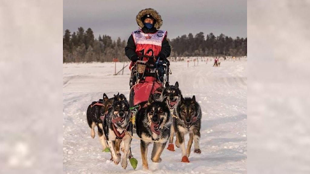 Kvinnlig slädhundsförare med sitt ekipage kör på snö