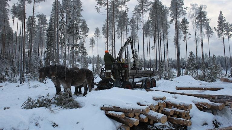 Skogshästar i arbete