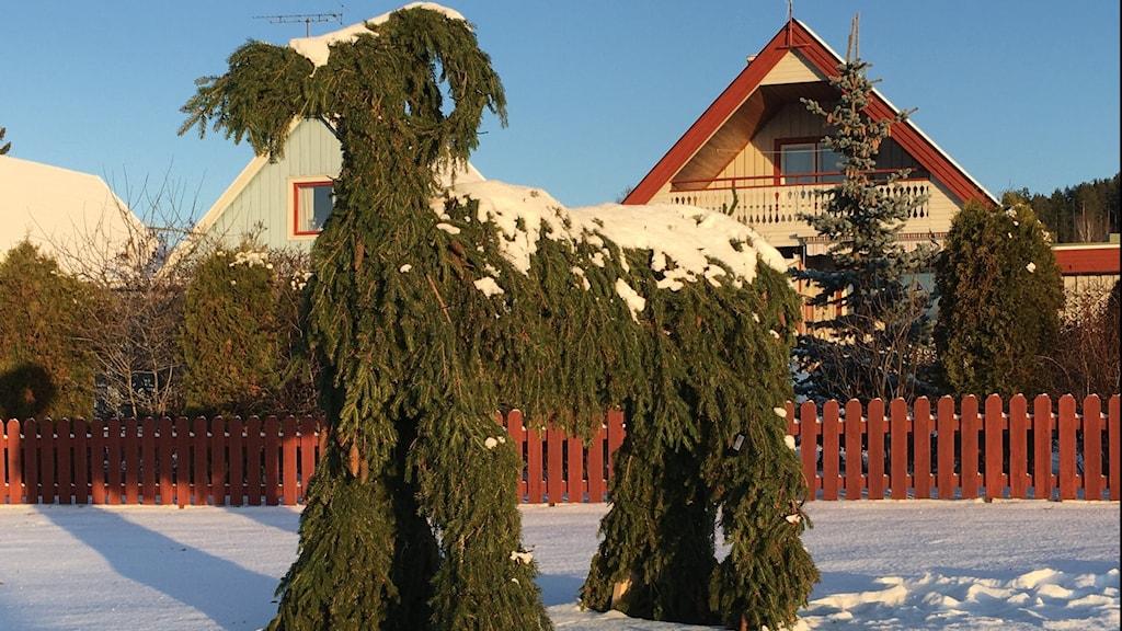 Julbock med mankhöjd på 150 centimeter tillverkad av granris står utomhus på snön i villaområde