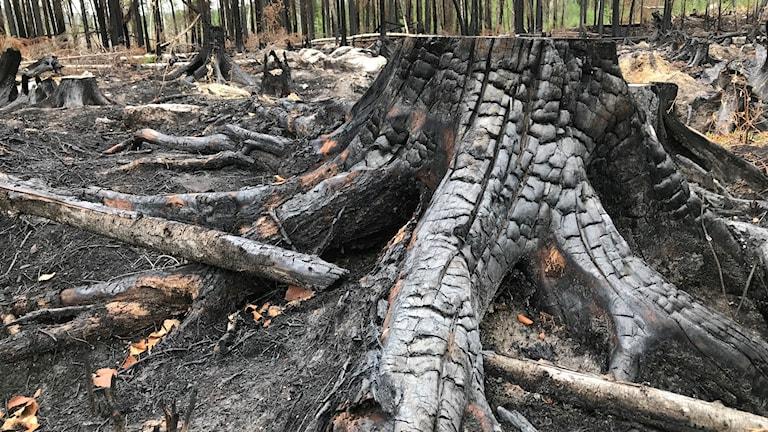 Närbild på träd som brunnit ner i en skogsbrand.