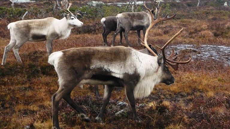 Tre renar vandrar i fjällmiljö