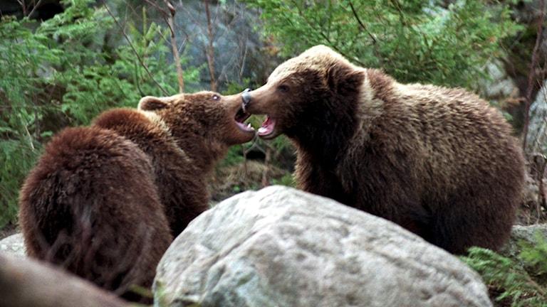 Björnar leker i skogen.