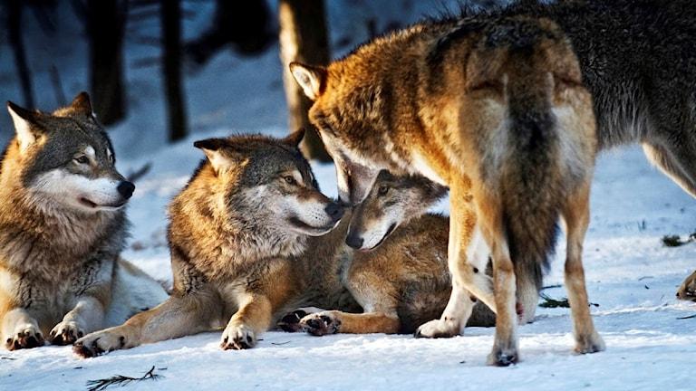 Tre vargar