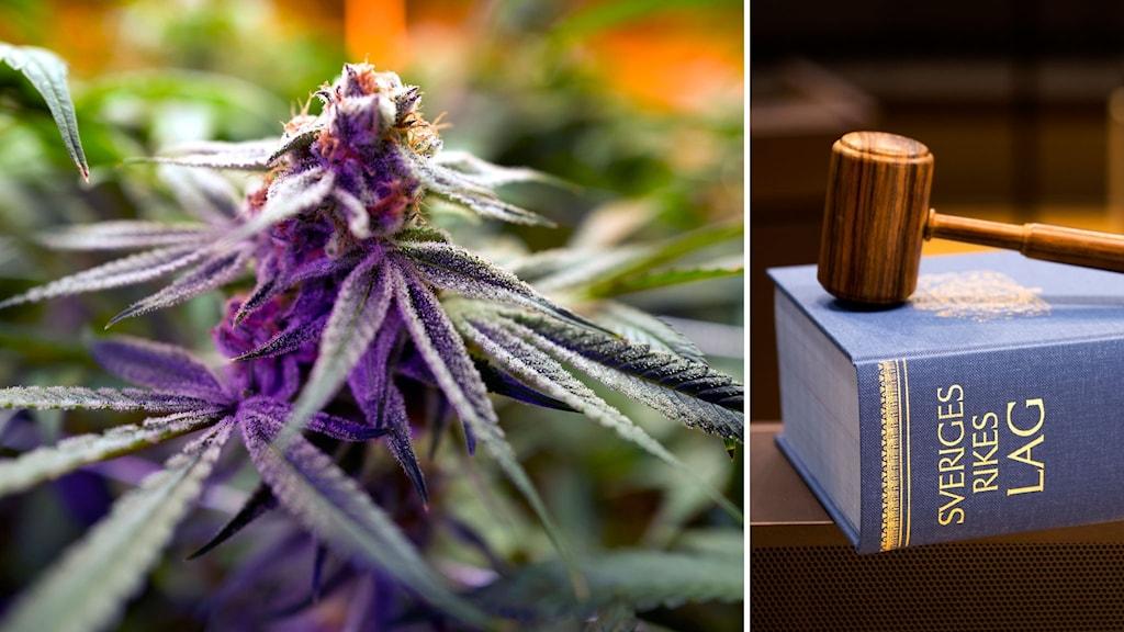 """Bildkollage. Till vänster: Närbild på en cannabisplanta. Till höger: En domarklubba ligger ovanpå """"Sveriges Rikes lag"""" inbunden i blått."""