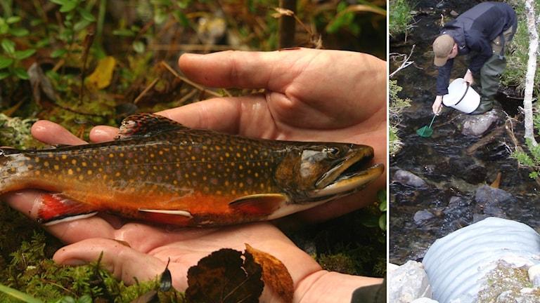 Bäckröding Länsstyrelsen fiskevård