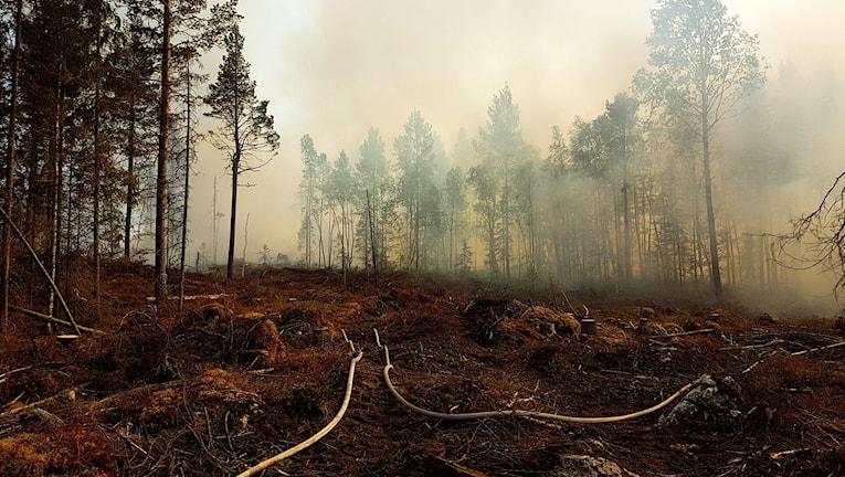 Brandslang på marken i en skogsbrand