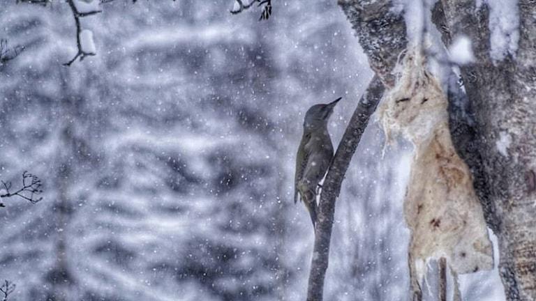 Gråspett sitter på trädgren i snöigt väder