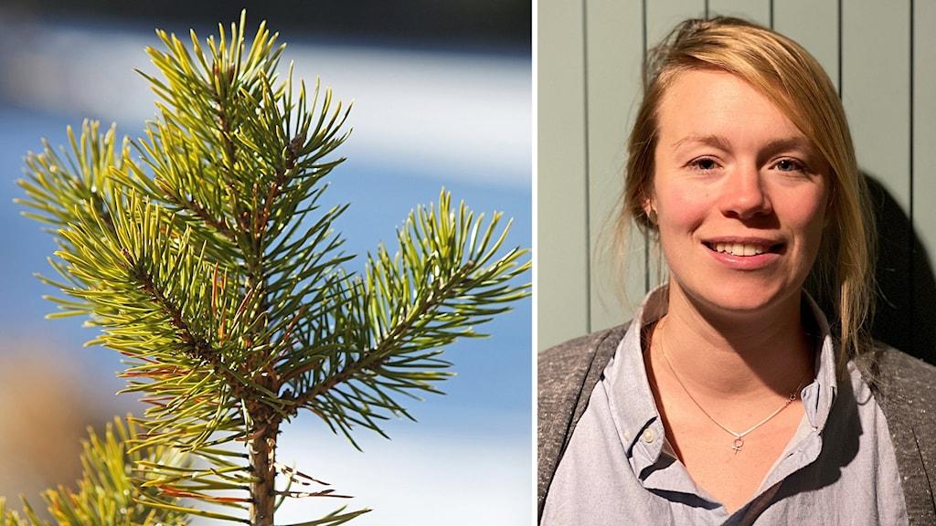 Två bilder: talltopp samt ung kvinna med uppsatt blont hår står mot ljusgrön vägg