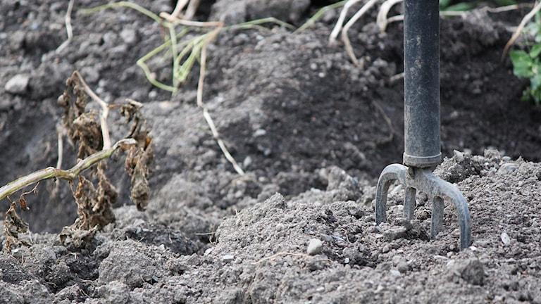 En grep och gammal potatisblast i trädgårdsjord