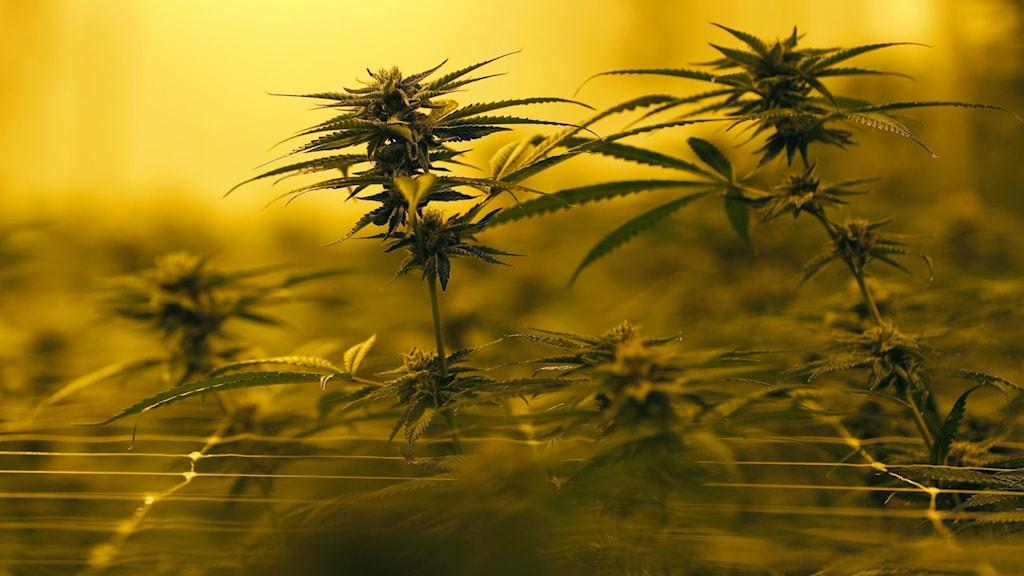 Cannabisodling under värmelampor