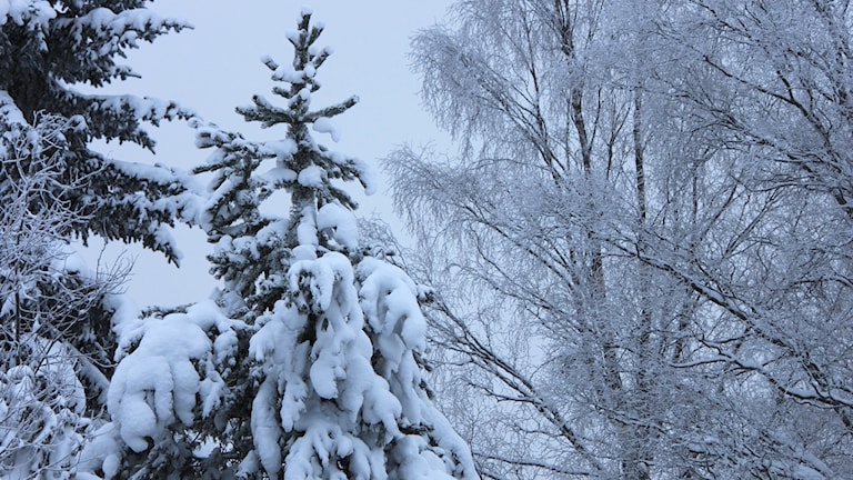 Snötäckta träd.