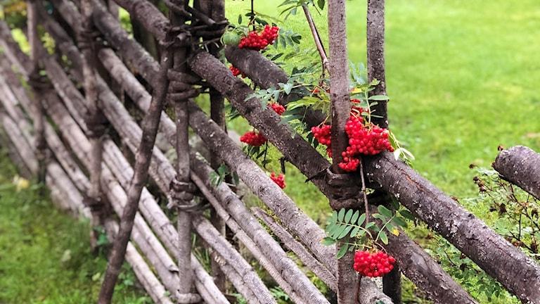 gren med rönnbärsklasar hänger ned över en gärdsgård