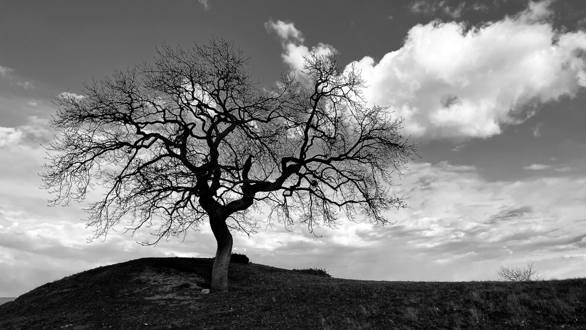 Träd på kulle. Svartvit bild.