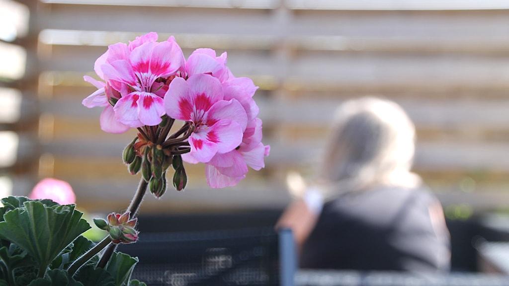 En rosa pelargon i förgrunden, i bakgrunden ryggtavlan av en person klädd i svart.