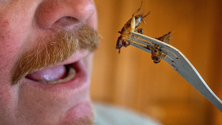 Insekter mat